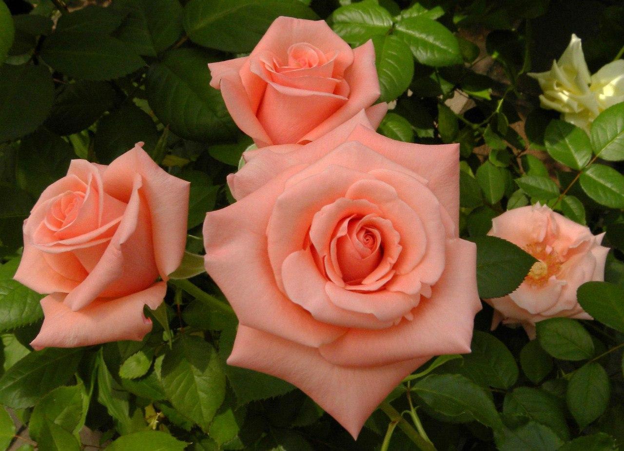 Картинки розы чайные, смешные динамо